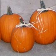 00 pumpkin 4x6